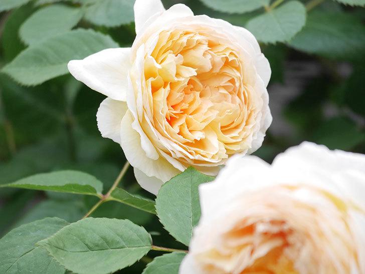 バスシーバ(Bathsheba)の花がたくさん咲いた。ツルバラ。2021年-193.jpg