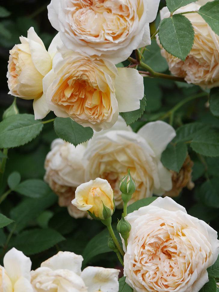 バスシーバ(Bathsheba)の花がたくさん咲いた。ツルバラ。2021年-195.jpg