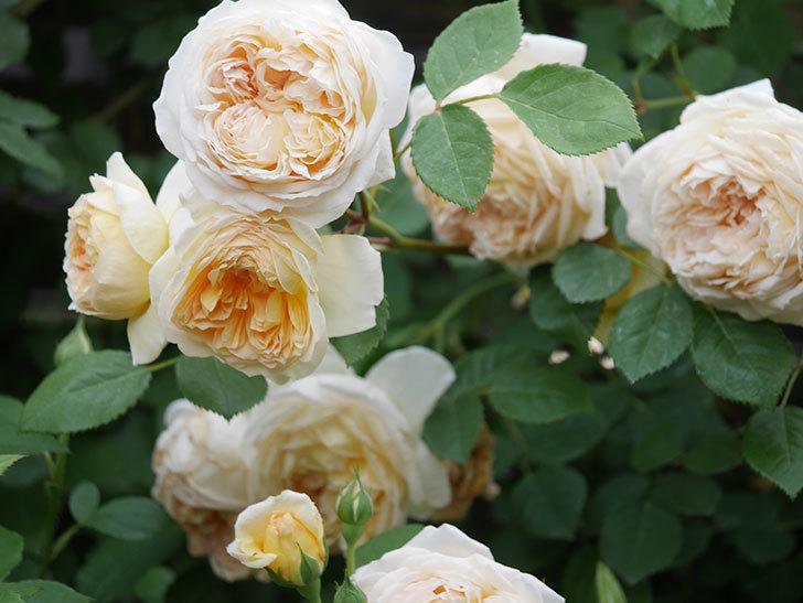 バスシーバ(Bathsheba)の花がたくさん咲いた。ツルバラ。2021年-196.jpg
