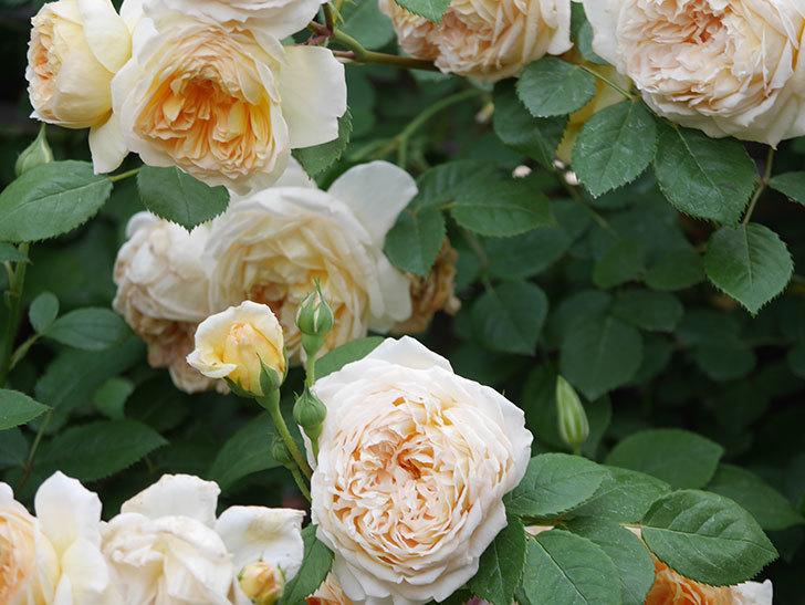 バスシーバ(Bathsheba)の花がたくさん咲いた。ツルバラ。2021年-197.jpg