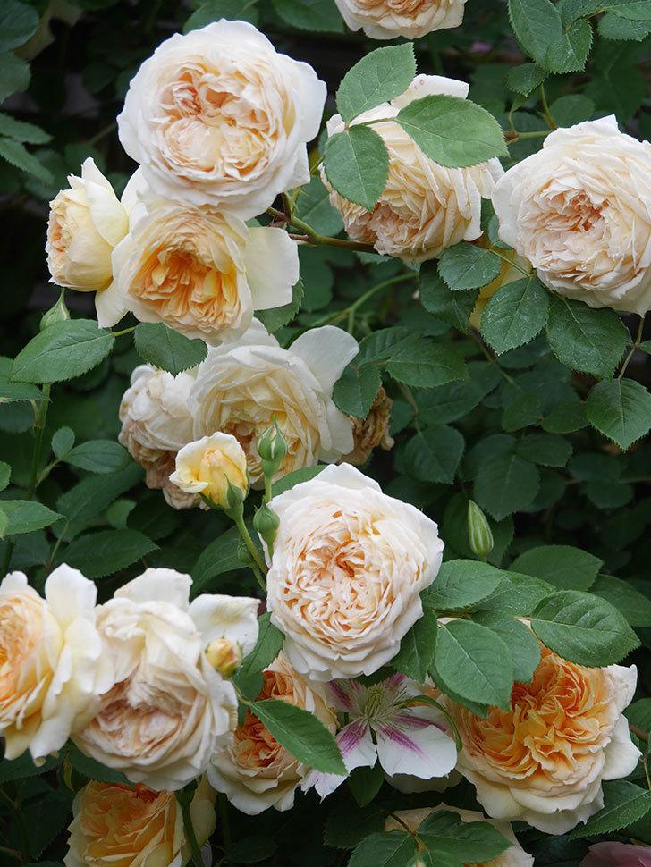 バスシーバ(Bathsheba)の花がたくさん咲いた。ツルバラ。2021年-198.jpg