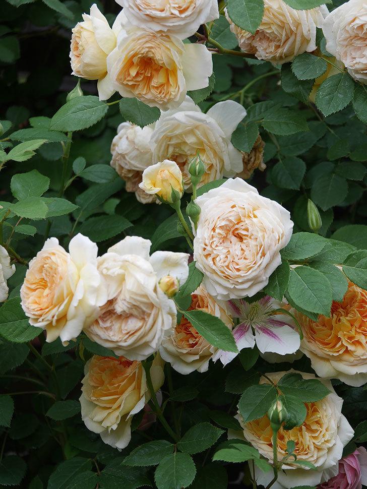 バスシーバ(Bathsheba)の花がたくさん咲いた。ツルバラ。2021年-199.jpg