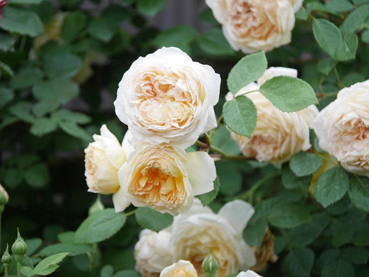 バスシーバ(Bathsheba)の花がたくさん咲いた。ツルバラ。2021年-200.jpg