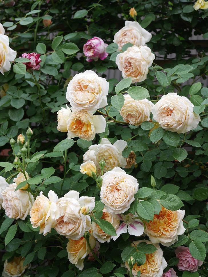 バスシーバ(Bathsheba)の花がたくさん咲いた。ツルバラ。2021年-205.jpg
