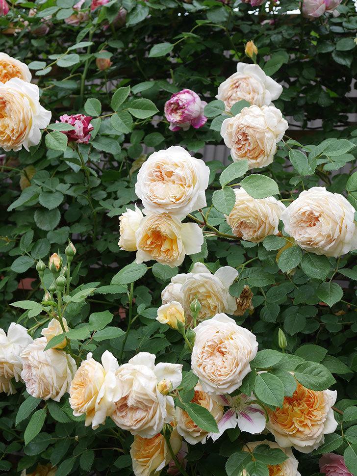 バスシーバ(Bathsheba)の花がたくさん咲いた。ツルバラ。2021年-206.jpg