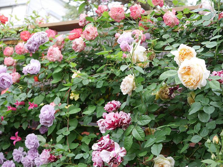 バスシーバ(Bathsheba)の花がたくさん咲いた。ツルバラ。2021年-207.jpg