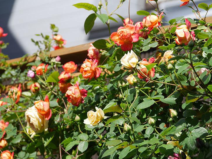 バスシーバ(Bathsheba)の花が咲いた。ツルバラ。2021年-002.jpg