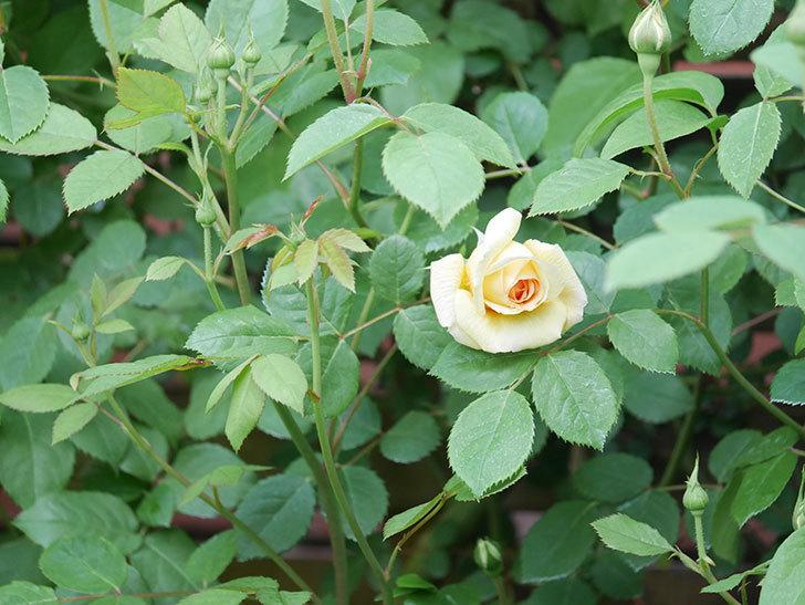 バスシーバ(Bathsheba)の花が咲いた。ツルバラ。2021年-004.jpg