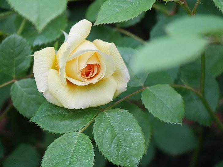 バスシーバ(Bathsheba)の花が咲いた。ツルバラ。2021年-005.jpg