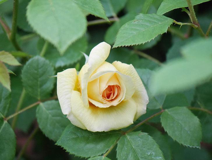 バスシーバ(Bathsheba)の花が咲いた。ツルバラ。2021年-006.jpg