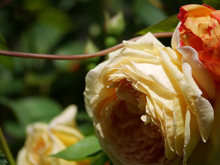 バスシーバ(Bathsheba)の花が咲いた。ツルバラ。2021年-007.jpg