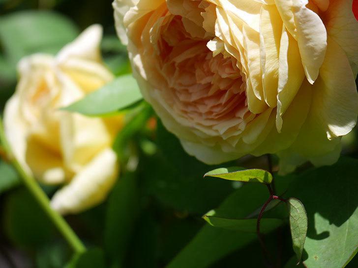バスシーバ(Bathsheba)の花が咲いた。ツルバラ。2021年-008.jpg