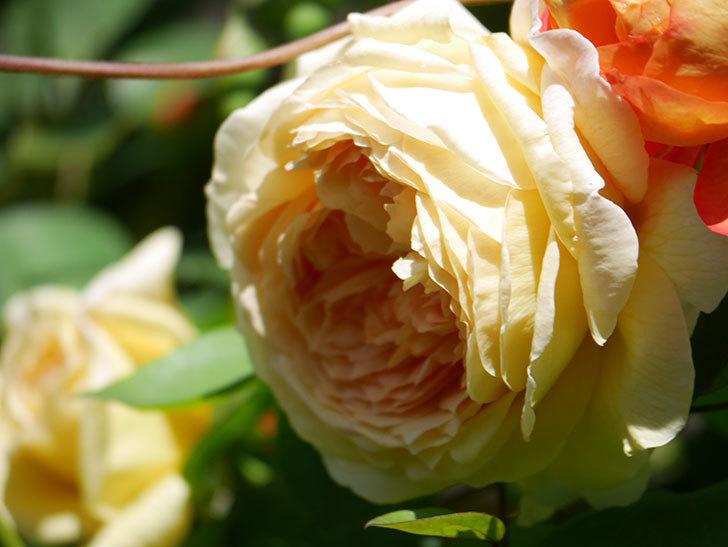 バスシーバ(Bathsheba)の花が咲いた。ツルバラ。2021年-009.jpg
