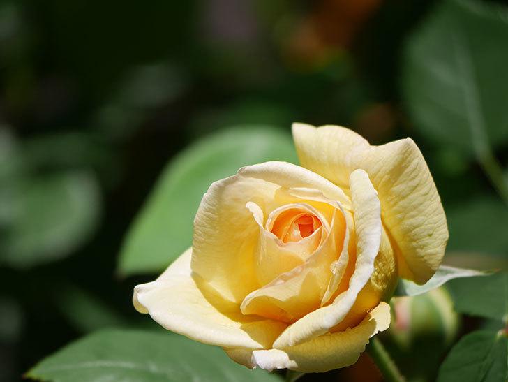 バスシーバ(Bathsheba)の花が咲いた。ツルバラ。2021年-010.jpg