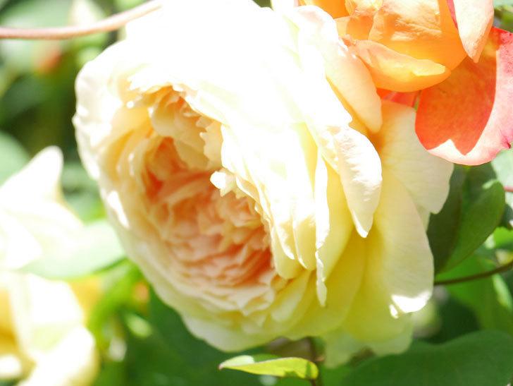 バスシーバ(Bathsheba)の花が咲いた。ツルバラ。2021年-011.jpg