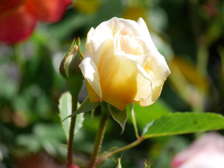 バスシーバ(Bathsheba)の花が咲いた。ツルバラ。2021年-012.jpg