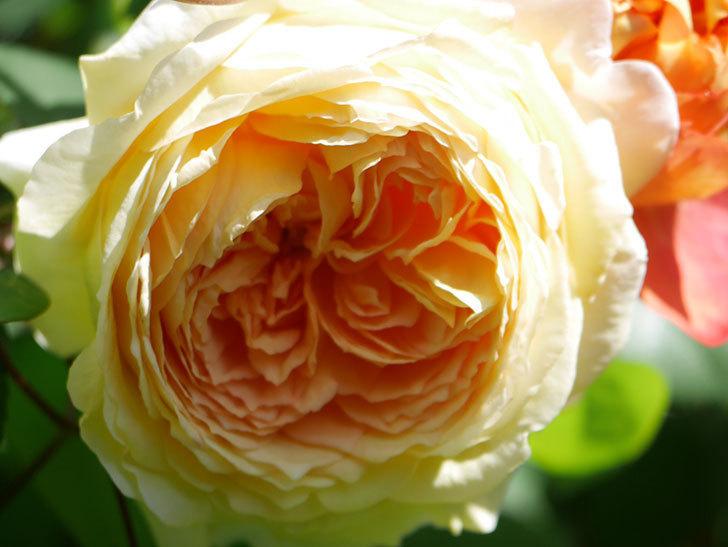 バスシーバ(Bathsheba)の花が咲いた。ツルバラ。2021年-013.jpg
