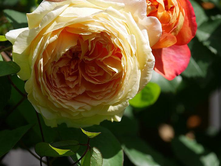 バスシーバ(Bathsheba)の花が咲いた。ツルバラ。2021年-014.jpg