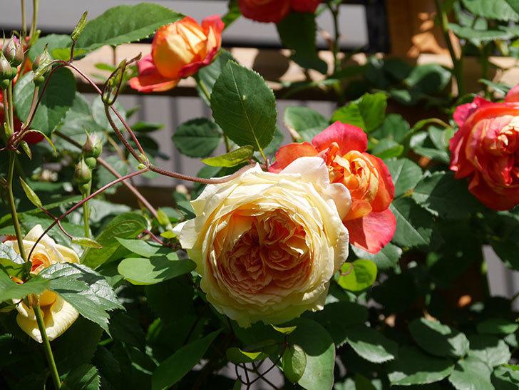 バスシーバ(Bathsheba)の花が咲いた。ツルバラ。2021年-015.jpg