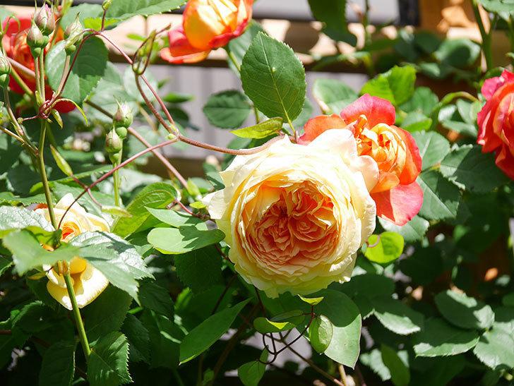 バスシーバ(Bathsheba)の花が咲いた。ツルバラ。2021年-016.jpg