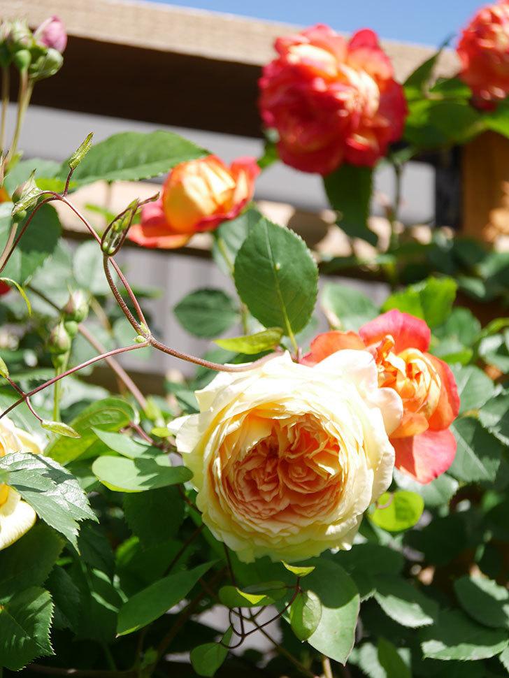 バスシーバ(Bathsheba)の花が咲いた。ツルバラ。2021年-017.jpg