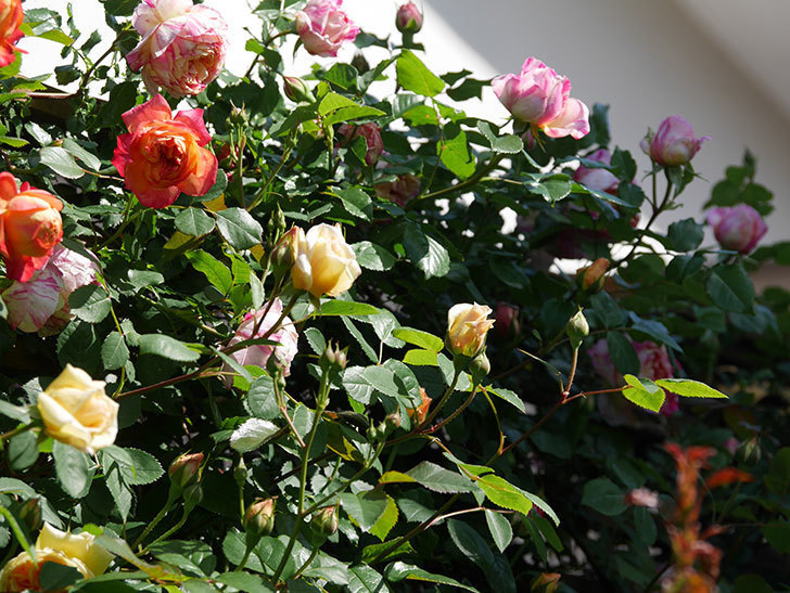 バスシーバ(Bathsheba)の花が咲いた。ツルバラ。2021年-020.jpg