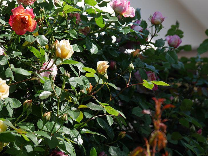 バスシーバ(Bathsheba)の花が咲いた。ツルバラ。2021年-021.jpg