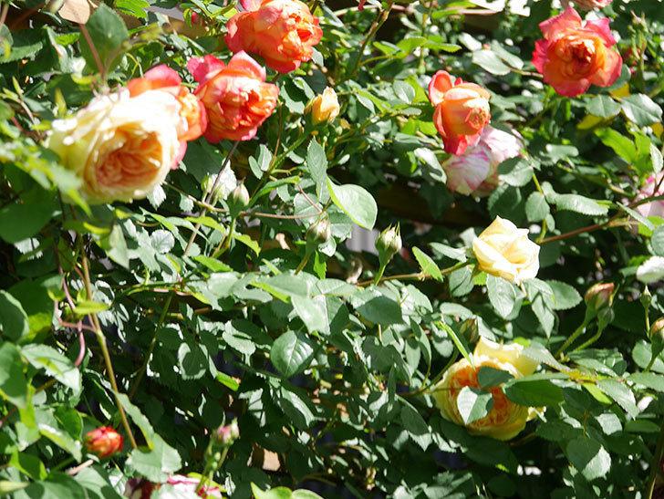 バスシーバ(Bathsheba)の花が咲いた。ツルバラ。2021年-022.jpg