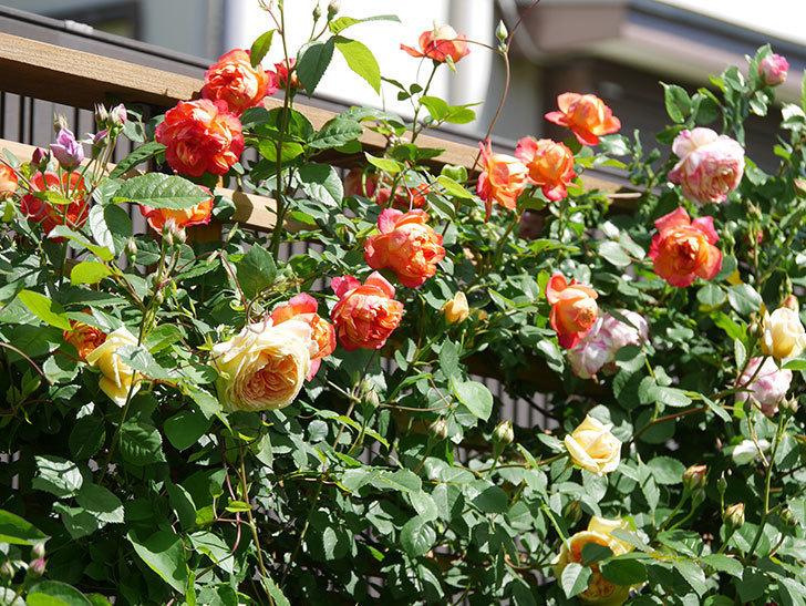 バスシーバ(Bathsheba)の花が咲いた。ツルバラ。2021年-023.jpg