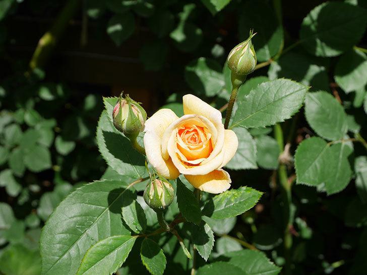 バスシーバ(Bathsheba)の花が咲いた。ツルバラ。2021年-025.jpg