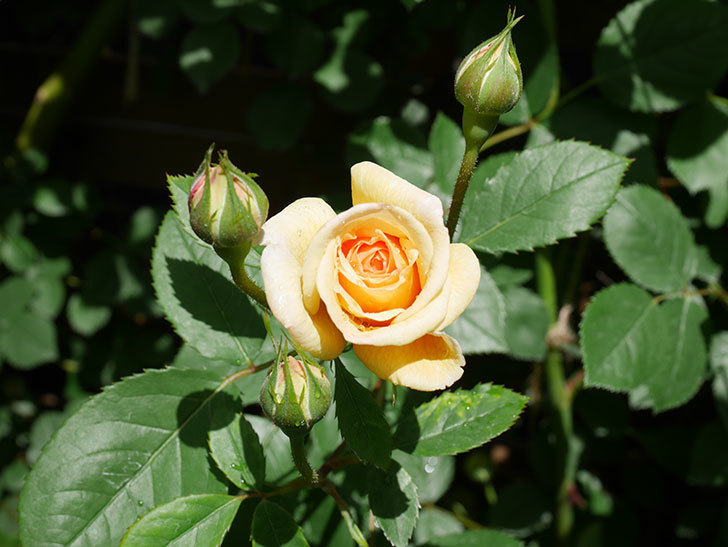 バスシーバ(Bathsheba)の花が咲いた。ツルバラ。2021年-026.jpg