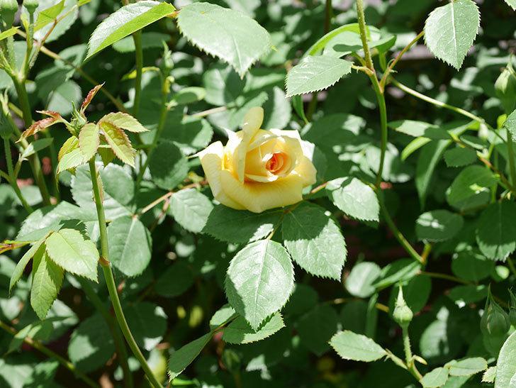 バスシーバ(Bathsheba)の花が咲いた。ツルバラ。2021年-027.jpg