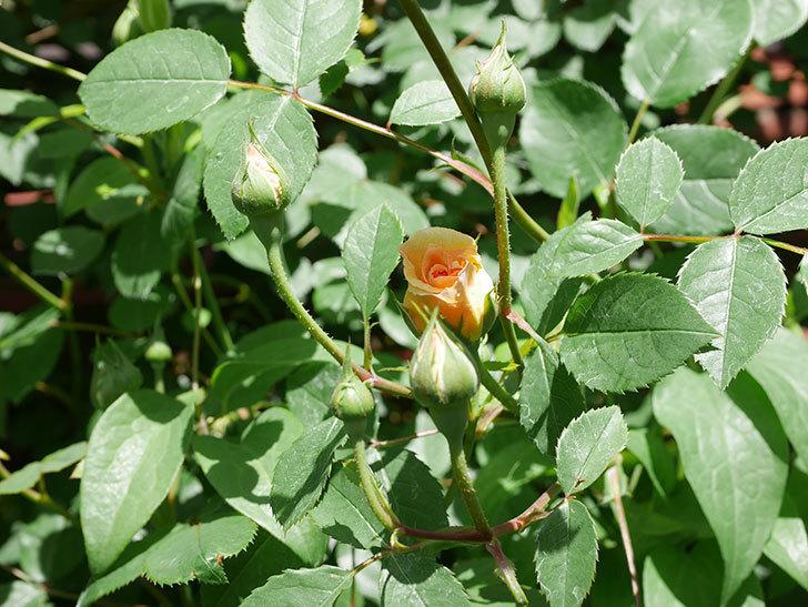 バスシーバ(Bathsheba)の花が咲いた。ツルバラ。2021年-029.jpg