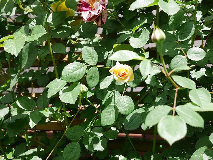 バスシーバ(Bathsheba)の花が咲いた。ツルバラ。2021年-030.jpg