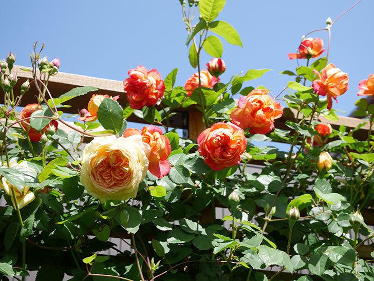 バスシーバ(Bathsheba)の花が咲いた。ツルバラ。2021年-033.jpg