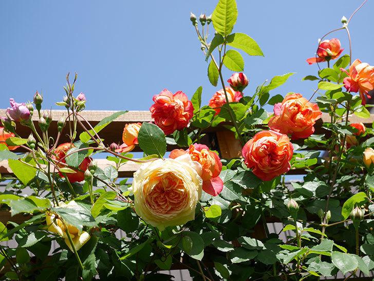 バスシーバ(Bathsheba)の花が咲いた。ツルバラ。2021年-034.jpg