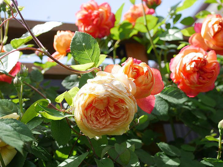 バスシーバ(Bathsheba)の花が咲いた。ツルバラ。2021年-036.jpg