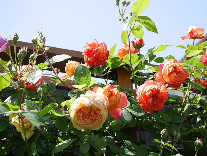 バスシーバ(Bathsheba)の花が咲いた。ツルバラ。2021年-039.jpg