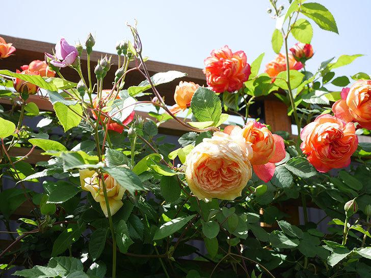 バスシーバ(Bathsheba)の花が咲いた。ツルバラ。2021年-040.jpg