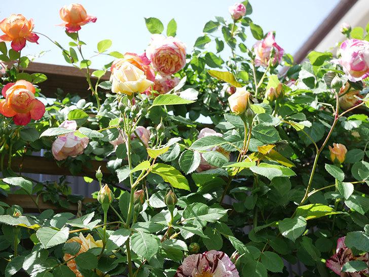 バスシーバ(Bathsheba)の花が咲いた。ツルバラ。2021年-041.jpg