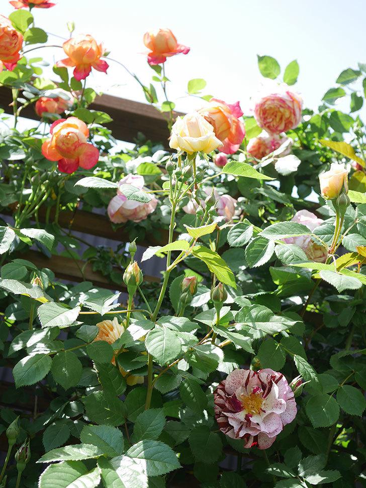 バスシーバ(Bathsheba)の花が咲いた。ツルバラ。2021年-042.jpg