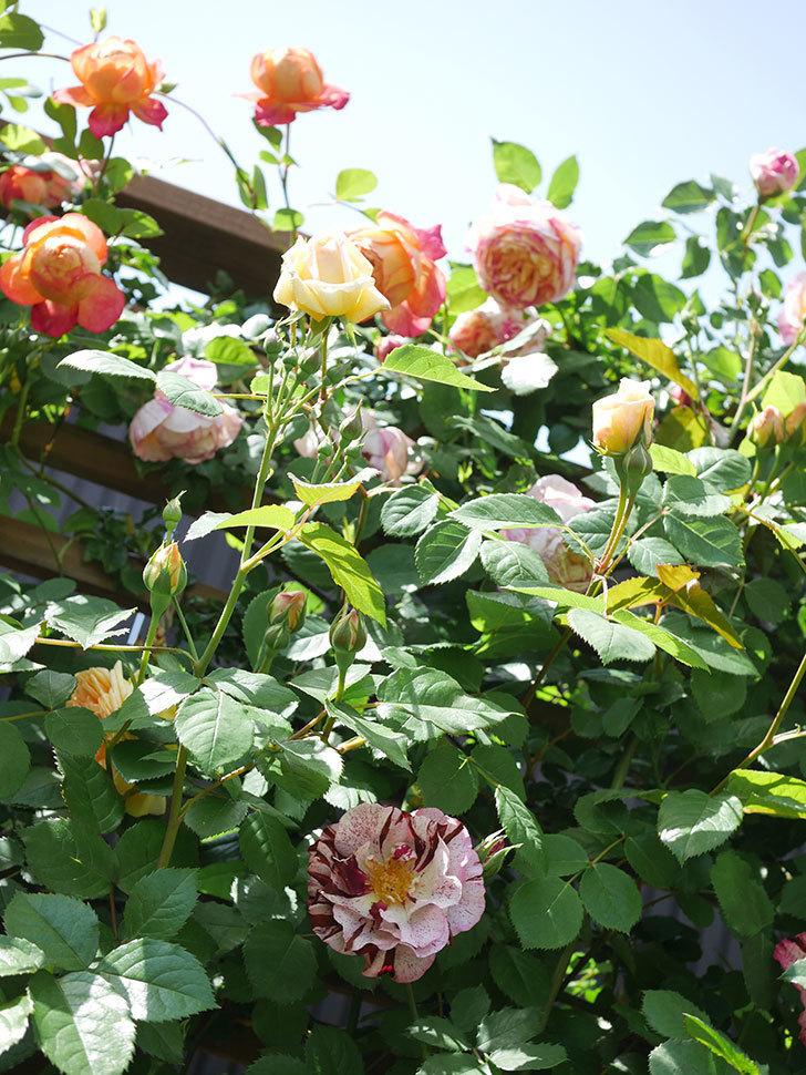 バスシーバ(Bathsheba)の花が咲いた。ツルバラ。2021年-043.jpg