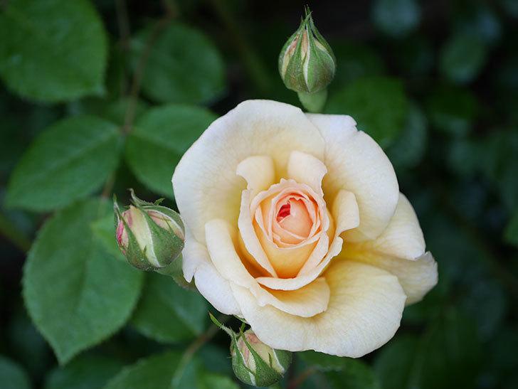 バスシーバ(Bathsheba)の花が増えてきた。ツルバラ。2021年-001.jpg