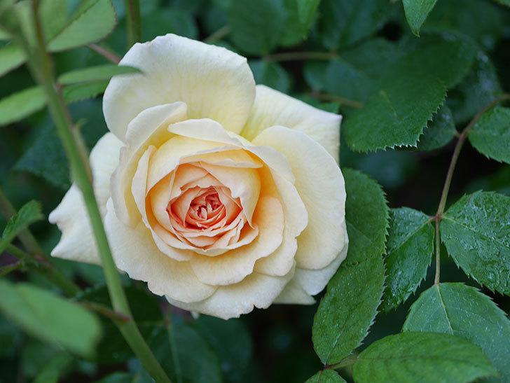 バスシーバ(Bathsheba)の花が増えてきた。ツルバラ。2021年-002.jpg
