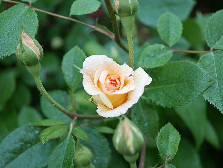 バスシーバ(Bathsheba)の花が増えてきた。ツルバラ。2021年-003.jpg