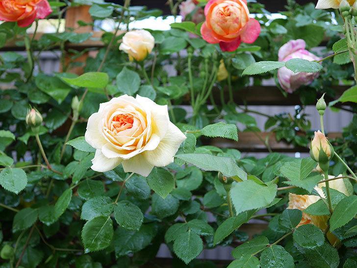 バスシーバ(Bathsheba)の花が増えてきた。ツルバラ。2021年-006.jpg