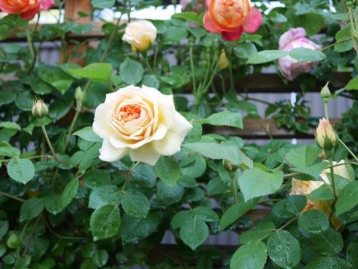 バスシーバ(Bathsheba)の花が増えてきた。ツルバラ。2021年-007.jpg