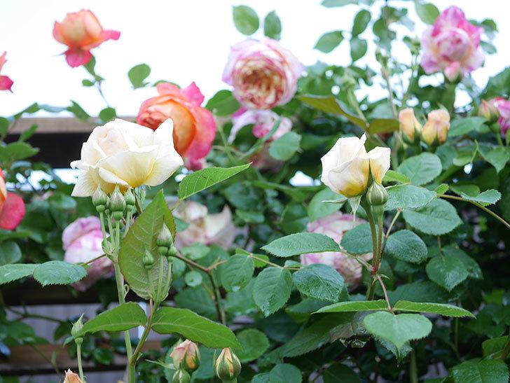 バスシーバ(Bathsheba)の花が増えてきた。ツルバラ。2021年-008.jpg