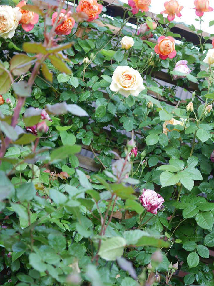バスシーバ(Bathsheba)の花が増えてきた。ツルバラ。2021年-009.jpg