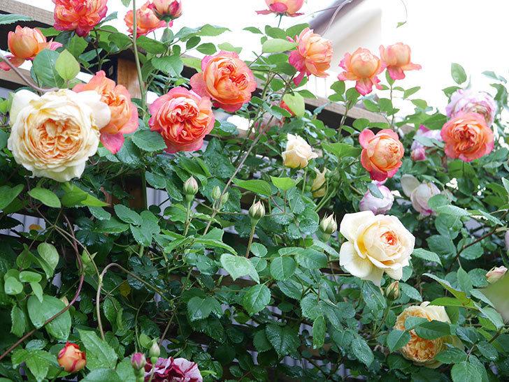 バスシーバ(Bathsheba)の花が増えてきた。ツルバラ。2021年-010.jpg
